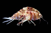 Amphipod Pleustes panopla. Amphipods are small crustaceans that typically have a laterally flattened body and fourteen limbs. They form part of the zo...
