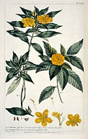 Yellow alder Turnera ulmifolia var angustifolia. Artwork from ´The Chelsea Gardener: Philip Miller´ by Hazel Le Rougetel 1990.