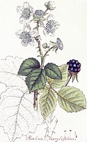 Blackberry plant Rubus corylifolius. Botanical illustration from the Botany Library Plate Collection, held at the Natural History Museum, London, UK.