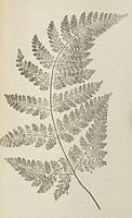 Broad buckler fern Liastrea dilatata. This artwork is from ´The Ferns of Sidmouth´ 1862 by the British artist Peter Orlando Hutchinson 1810_1897. Held...