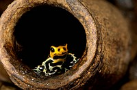Poison arrow frog Ranitomeya imitator. This species is native to the north_central region of eastern Peru.
