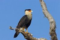 Northern Crested Caracara Caracara cheriway adult, perched on branch, Lake Kissimmee, Florida, U S A
