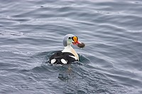 King Eider Somateria spectabilis adult male, feeding, with sea urchin in beak, swimming at sea, Varangerfjord, Finnmark, Norway