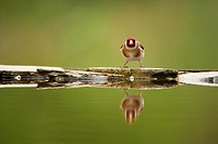 European Goldfinch Carduelis carduelis adult, standing at edge of forest pool, Hungary