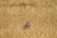 Montagus Harrier Circus pygargus immature male, standing in stubble field, Northern Spain, july