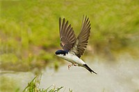 House Martin Delichon urbica adult, in flight, collecting mud for nesting material from puddle on farmland, Warwickshire, England, june