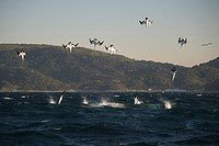 Cape Gannet Morus capensis adults, group in flight, diving for fish at sea, offshore Port St Johns, Wild Coast, Eastern Cape Transkei, South Africa
