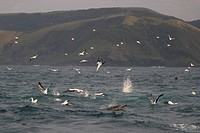 Cape Gannet Morus capensis adults, group in flight, diving for fish at sea, with Long_beaked Common Dolphin Delphinus capensis adult in foreground, of...