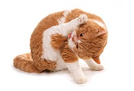 Domestic Cat, Red and White Shorthair Selkirk Rex, adult, grooming