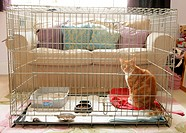 Domestic Cat, ginger and white tabby, adult, sitting in cage, house_bound during recovery from operation, England, august