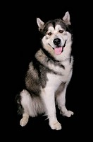 Domestic Dog, Alaskan Malamute, adult female, sitting