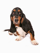 Domestic Dog, Basset Hound, adult, sitting