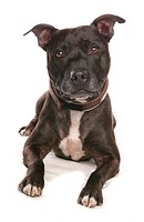 Domestic Dog, Staffordshire Bull Terrier, adult, laying