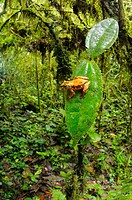 Montane Reed Frog Hyperolius castaneus adult, sitting on leaf in montane rainforest habitat, Nyungwe Forest N P , Rwanda, december