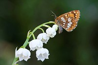 Duke of Burgundy Hamearis lucina adult, resting on Lily_of_the_valley Convallaria majalis flowers in garden, England, april