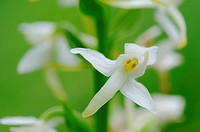Greater Butterfly Orchid Platanthera chlorantha close_up of flowers, Italy, june