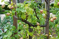 Common Pear Pyrus communis espalier with fruit, growing in garden, Normandy, France, june