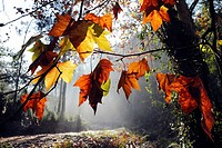 sun rays, fog and autumn leaves, Vidreres, Catalonia, Spain, Europe