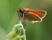 A Small Skipper Thymelicus sylvestris Butterfly perched on a flower