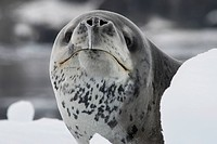 leopard seal portrait