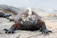 The marine iguana of the Galapagos Islands, Amblyrhynchus cristatus
