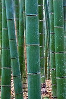 A pleasing shot of bamboo in the Sagano area of Kyoto