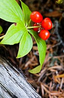 Red wildflower berries in Mount Hood National Forest. Clackamas County, Oregon, USA