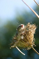 Harvest mouse, the smallest British rodent weighs between 5 and 11 grammes  Unusually they have prehensile tails to help them climb  Present throughou...