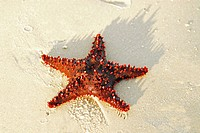 Madagascar, Ramena, red starfish lying on the sand