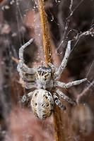 Namibia, Etosha National Park. Macro close_up of spider feeding on moth captured in spider web