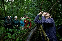 Uganda, Kibale Forest Reserve. Tourists looking up at Chimpanzee Pan troglodytes sitting on tree branch above rainforest