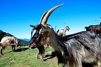 Goats, Mt. Legnone, Colico, Valtellina, Lombardy, Italy