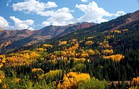 Aspens turning gold in the Rocky Mountains