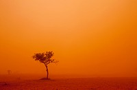 Australia, New South Wales, Ivanhoe, Outback dust storm turns sky orange with wind blown red sand with lone windswept tree on summer evening