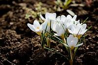 spring white crocus flower. nature