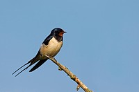 Barn swallow Hirundo rustica perched on branch, Germany