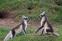Arctic fox Vulpes lagopus / Alopex lagopus cubs play fighting at den on the tundra in summer, Lapland, Sweden
