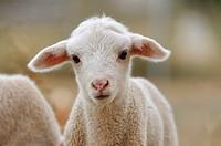 Merino lamb, Badajoz province, Extremadura, Spain