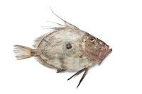 Single fresh John Dory fish on white background