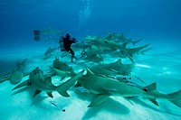 Scuba Diver surrounded by Lemon Shark, Negaprion brevirostris, Caribbean Sea, Bahamas