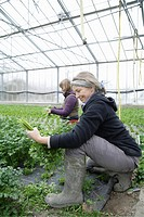 Germany, Upper Bavaria, Weidenkam, Woman working in greenhouse of parsley