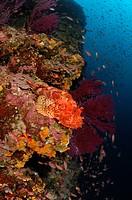 Great Rockfish, Scorpaena scrofa, Susac Island, Adriatic Sea, Croatia