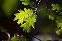 Backlit Oak Leaves