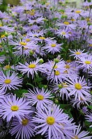 Asters, Michaelmas Daisy