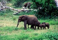 family of elephants walking through green grass kruger national park south africa