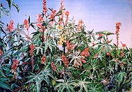 Castor_oil plant plant