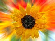 sunflower with colorful rays