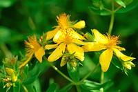 Saint John´s Wort _ medicinal plant _ herb _ Hypericum perforatum _ Iperico
