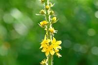 medicinal plant _ herb _ Common Agrimony _ Eupatoria