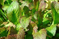 rassica juncea _ Mustard greens _ leaf mustard _ Indian mustard _ vegetable _ salad _ raw food _ Brassica juncea _ Senape indiana